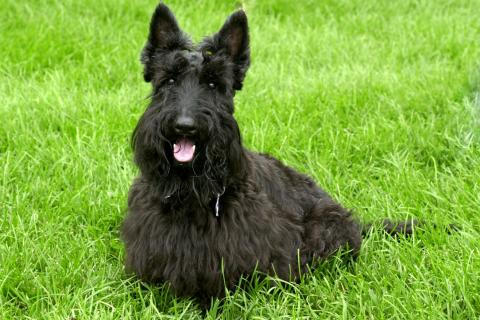 Scottish terrier on the lawn